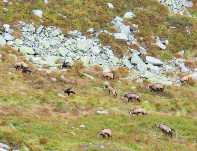 gdzie spotkać kozice w Tatrach